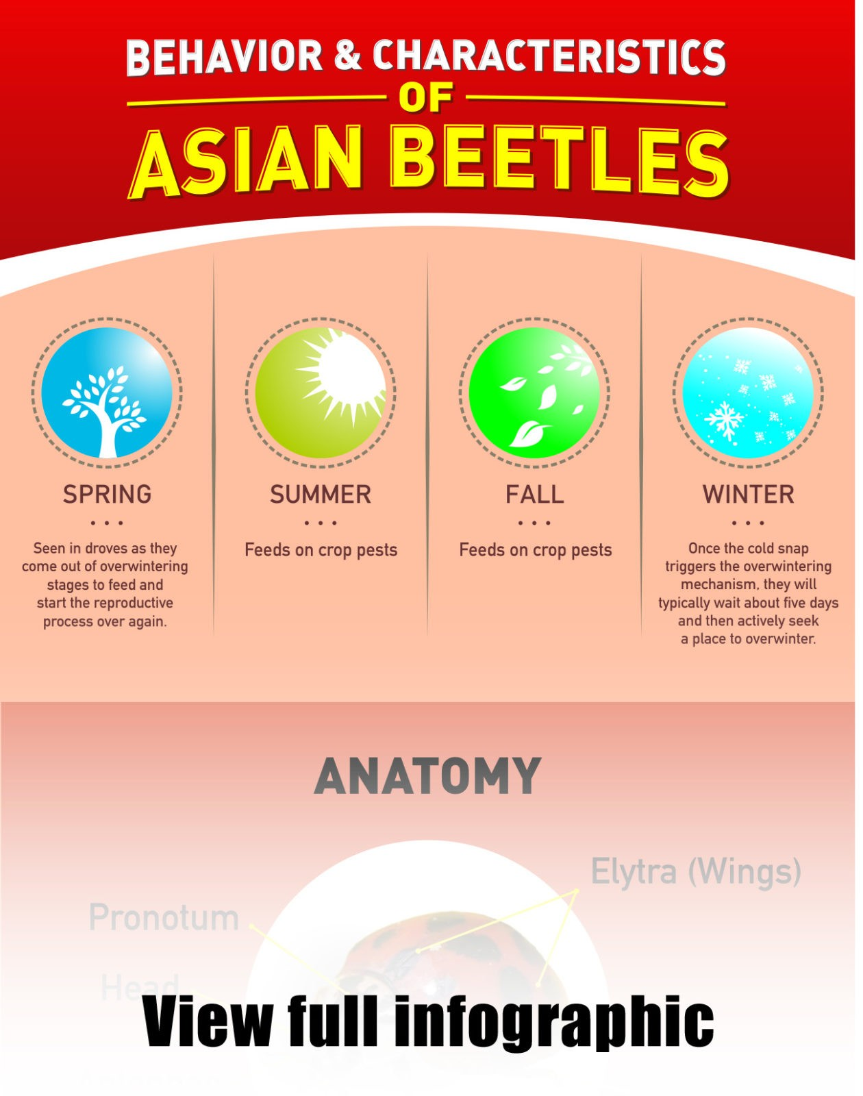 Characteristics of Asian Beetles