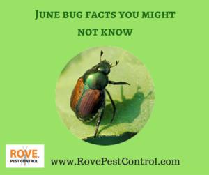 june bug, june bug facts, june bugs