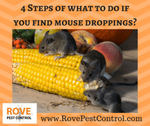 what to do if you have mice, mouse droppings, what to do if you find mouse droppings, rodents, roaches, pest control, pest control tips