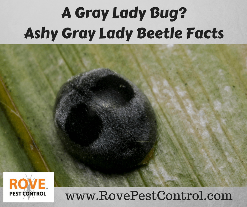 A Gray Lady Bug? Ashy Gray Lady Beetle Facts - Rove Pest Control