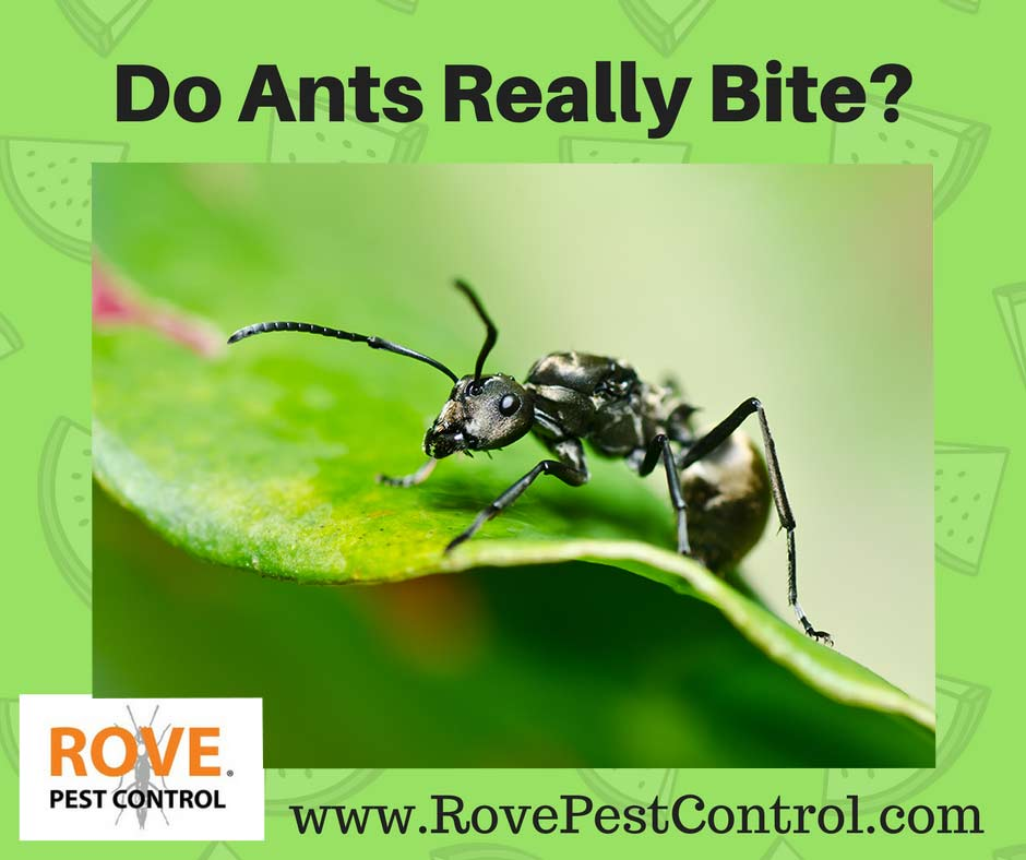 Do ants bite, what ants bite, what ants sting, what ants are dangerous,