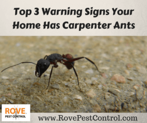 carpenter ants, ants, pest control, pest control tips, warning signs, warning signs you have carpenter ants, warning signs for carpenter ants, top warning signs for carpenter ants,