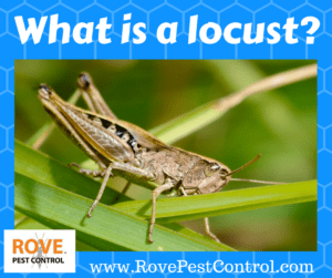 what is a locust, locust, what are locust, what are locusts, what do locusts look like, what do locusts look like, are locust real, do locusts exist, do locusts really exist, pests, plague, locust plague, what is a locust, pest control, pest control tips