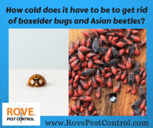 Does Cold Kill Off Boxelder Bugs And Asian Beetles Rove Pest Control