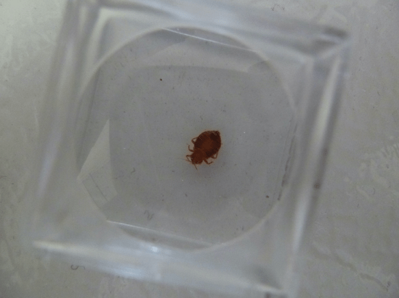 bed bug in glass
